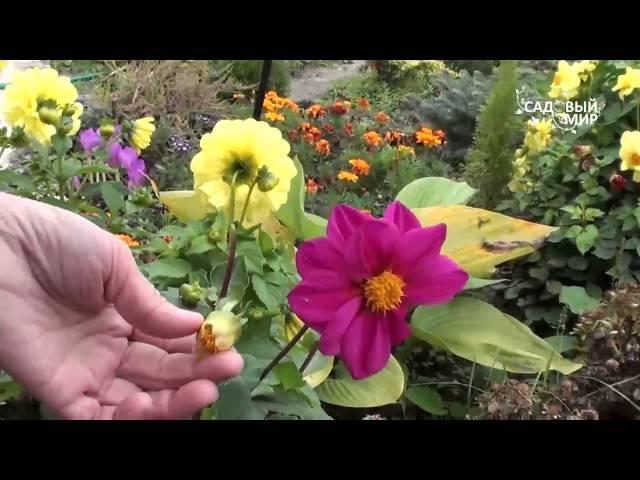 Однолетние георгины. Сайт Садовый мир