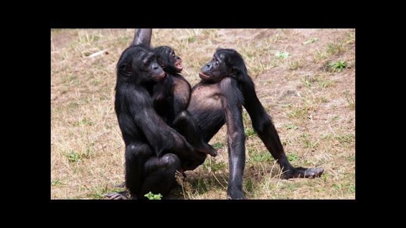 Женщину девушку ебет трахает обезьяна