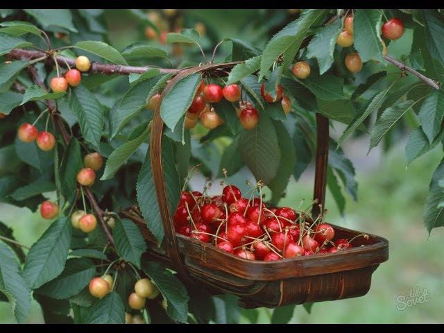 Как получить большой урожай черешни в средней полосе