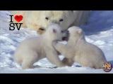 Funny Cute POLAR BEARS SV Life