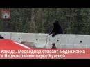 Канада. Медведица спасает медвежонка в Национальном парке Кутеней [СЖ]
