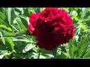 Пион RED CHARM