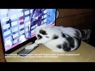 Кот хоккеистболеет за СибирьCat watching hockeyaches for Siberia