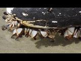 Goose barnacles filter feeding (Lepas anatifera)