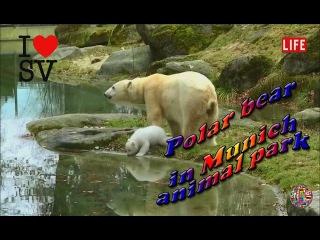 Первое появление белого медвежонка в Мюнхенском зоопарке / First glimpse of baby polar bear at Munich zoo [SV Life]