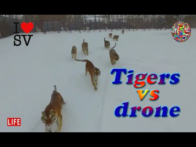 Tigers vs drone: Felines go wild chasing flying prey | Амурские ТИГРЫ против Квадрокоптера