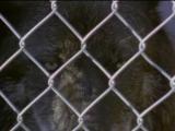 BBC  плотоядные волк ( 1997 год )