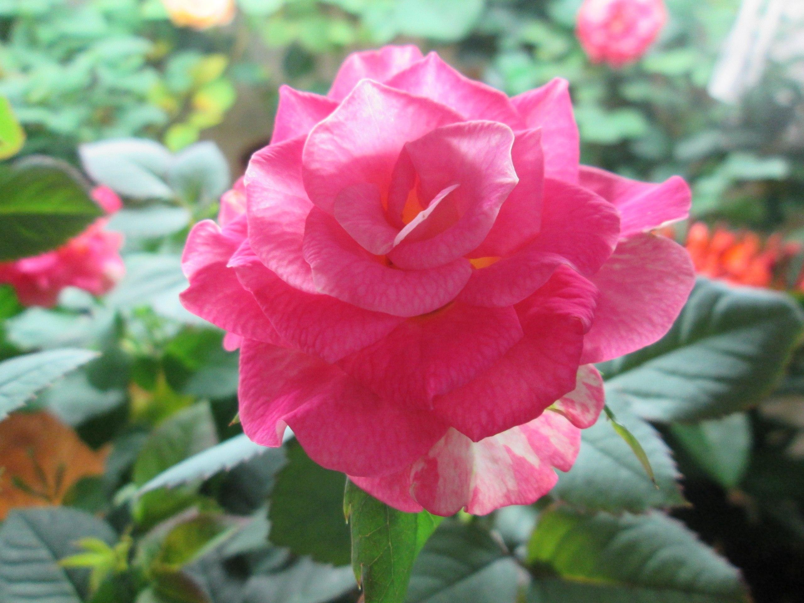 комнатная китайская роза и уход и размножение