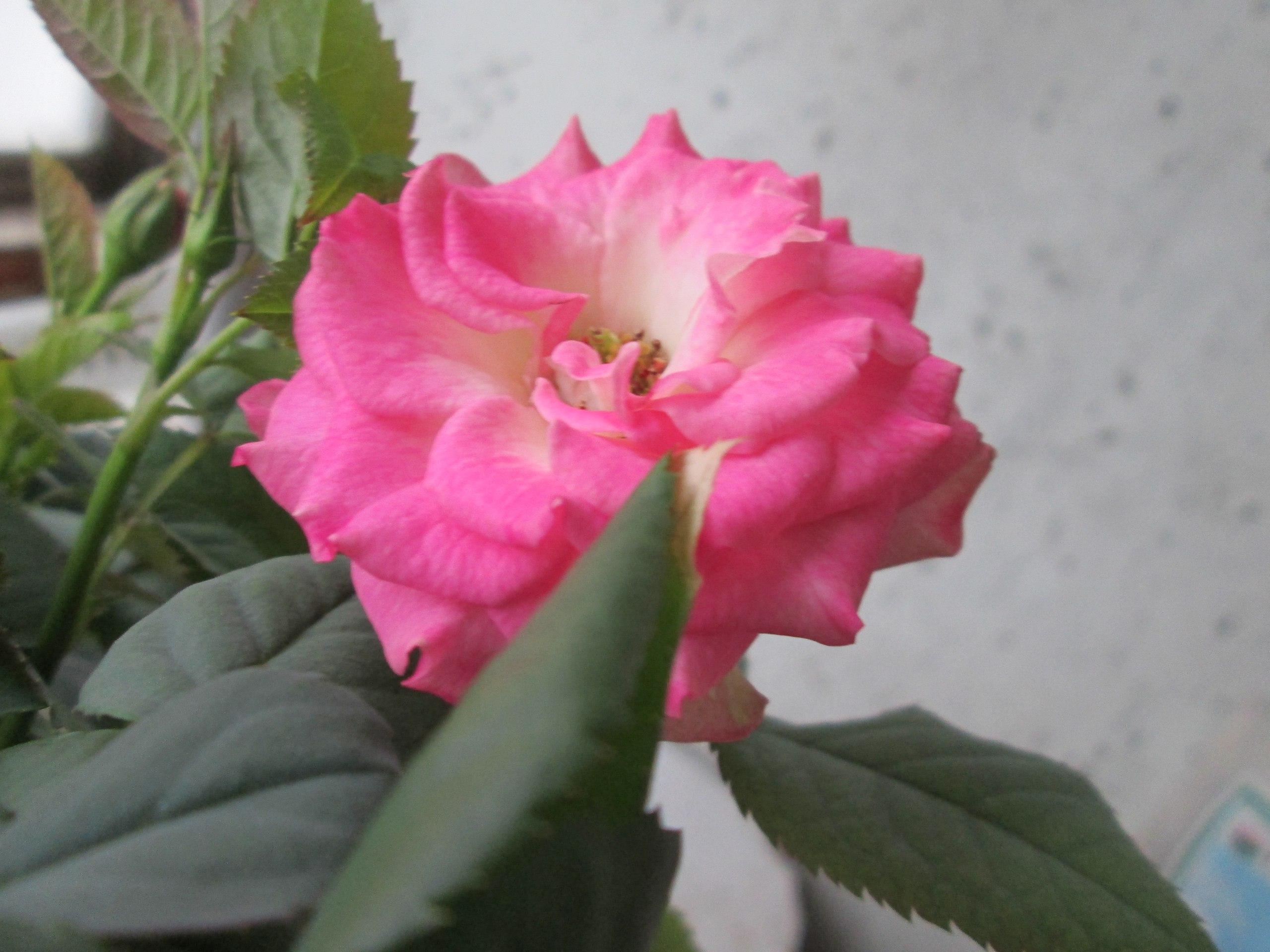 комнатные китайские розы фото и уход