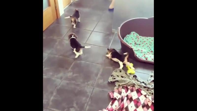 Женщина пытается справиться со щенками бигля