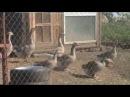 Алабай и гуси. Бесстрашные птицы.
