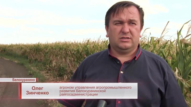 Події. ЛОТ - В Білокуракинському районі врожай кукурудзи очікують гірше, ніж попереднього року. 22.08.2017