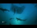 Живая природа прямой репортаж. 14. Природа акул