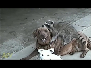 Orphaned Baby Raccoon Is Taken In By Dogs - 2 Yrs Later - AFV