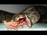 Most Amazing Wild Animal Attacks - Giant Anaconda Attack Cat, Biggest Python Attacks Human