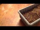 Экспермент с дозревшей люффой ребристой и кукурузой