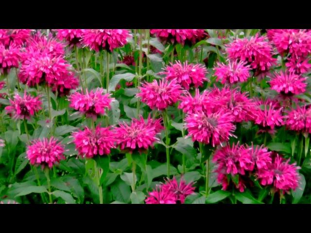 Монарда - декоративное и пряно-ароматическое растение