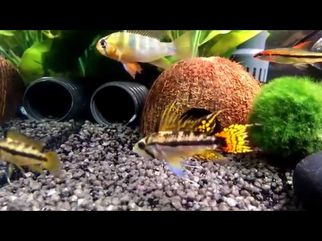 Best Of Apistogramma Cacatuoides/ Dwarf Cichids Mixed Aquarium HD