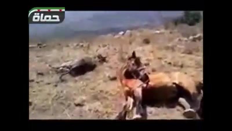 18 Солдаты Асада и иностранные новобранцы-шииты убивают лошадей местных жителей