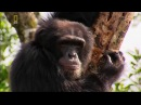 Животный мир. Западная Африка. Рослые приматы. Самые умные. Джунгли Сьера-Леоне. ...
