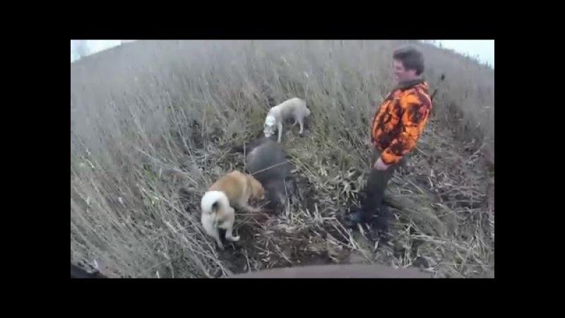 Охота на кабана на камыше не без; лайками 0015.