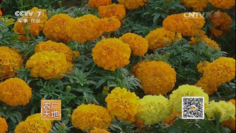 Бархатцы ''ВаньШоу Цзюй'', или ''Ян ноготки'', либо Тагетес (лат. Tagetes) - данное цветковое растение в Китае имеет огромную де