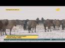 Знаменитый табунщик вывел лошадь породы жәбе в Павлодарской области