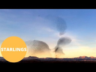 Thousands of starling caught swarming over sunset