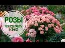 Уход за розами 🌺 Чем подкормить розы осенью? 🌺 Полезные советы hitsadTV