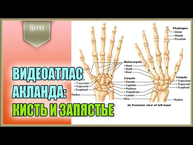 Легендарный видеоатлас доктора Роберта Акланда по анатомии человека. Кисть и за...