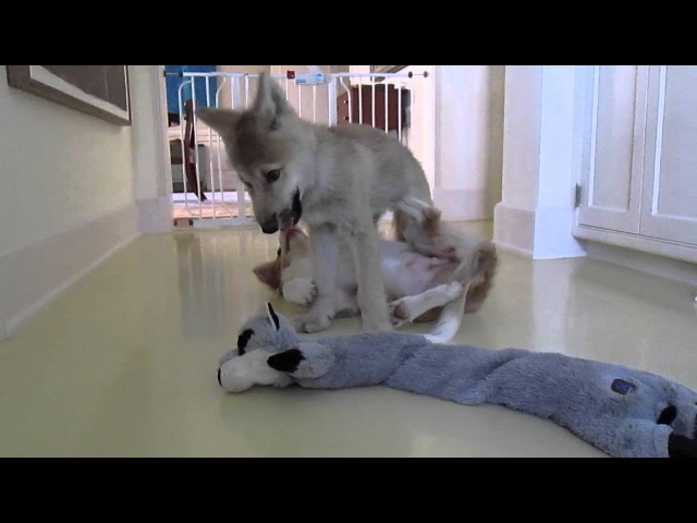 Baby Wolf and Border Collie Pup Jiu Jitsu