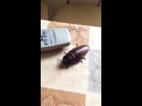 Наблюдение за поведением мадагаскарского таракана на столе