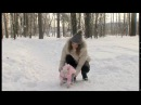 Бультерьер - собака компаньон