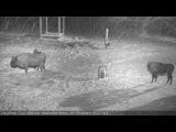 В Беловежской Пуще зубры прогнали волков суровыми взглядами