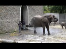 Гигантский африканский слон принимает душ