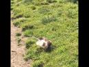 Бои без правил под названием жизнь - поединок: горностай Майвейзер и домашняя крыса Макгрегор))