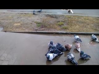 Голубки, перышки чистят....