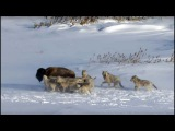 Pack Of Wolves Hunt a Bison Frozen Planet BBC Earth
