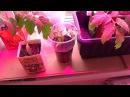 Как получить ранний урожай высокорослых томатов