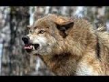==Прирожденные убийцы== В поисках людоеда == Волки/ National Geographic HD