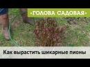 Голова садовая Как вырастить шикарные пионы