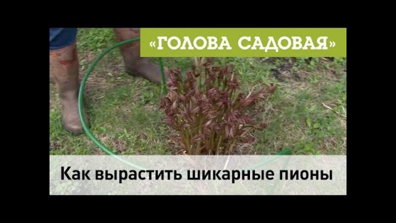 Голова садовая - Как вырастить шикарные пионы