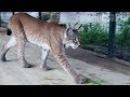 Игры больших кошек Рыси Ханна и Умка