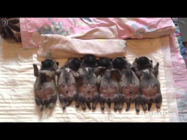 Line of sleeping puppies pugs Уснувший в ряд мопсов отряд