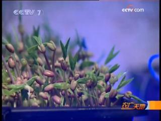 Пророщенные зёрна ''Фая дэ Гуу''. Молодые проростки как продукт питания ''Ю Мяо ЦзоВэй ШиПинь''. Пророщенные семена и молодые ро