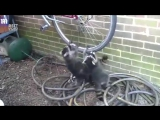 Три енота ругаются из-за велосипеда