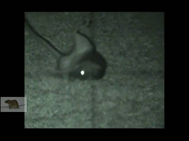 The biggest hunt for rats 2) unusual night hunting for rats, охота на крыс