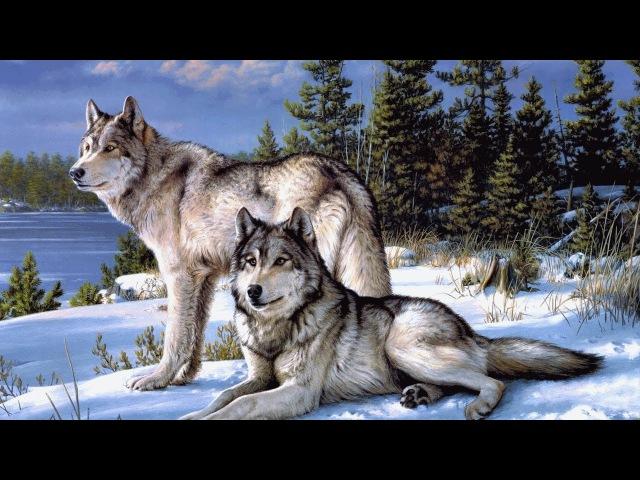 Волки. Жизнь волков в дикой природе. Документальный фильм