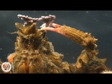 Decorator Crabs Make High Fashion at Low Tide Deep Look
