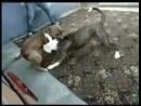 Американский бульдог Торнадо vs Питбуль Тайсон собачьи бои 18
